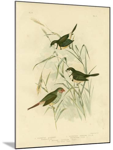 Bicheno's Finch, 1891-Gracius Broinowski-Mounted Giclee Print