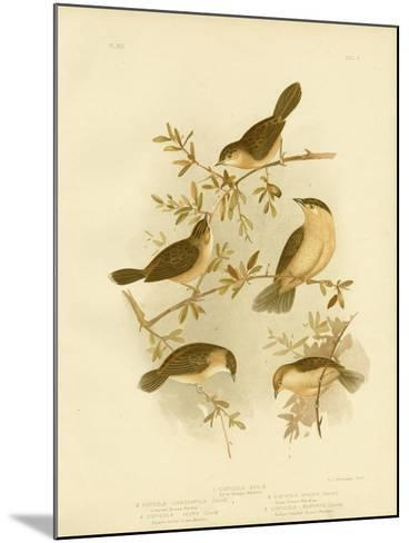 Golden-Headed Cisticola or Gold-Capped Cisticola, 1891-Gracius Broinowski-Mounted Giclee Print