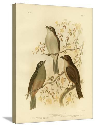 Harmonious Shrike-Thrush or Grey Shrike-Thrush, 1891-Gracius Broinowski-Stretched Canvas Print