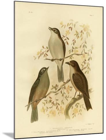 Harmonious Shrike-Thrush or Grey Shrike-Thrush, 1891-Gracius Broinowski-Mounted Giclee Print