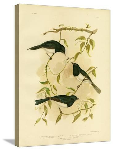 Leaden-Colored Flycatcher or Leaden Flycatcher, 1891-Gracius Broinowski-Stretched Canvas Print