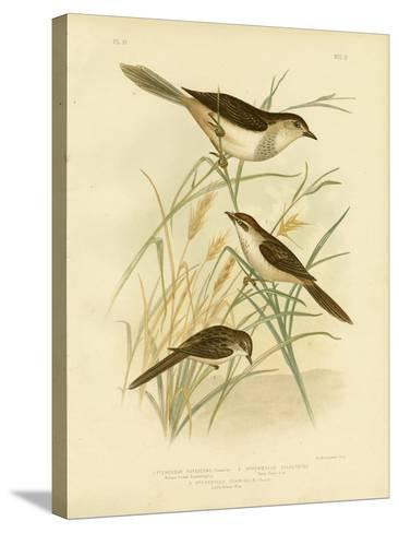 Rufous-Tinted Cincloramphus or Rufous Songlark, 1891-Gracius Broinowski-Stretched Canvas Print