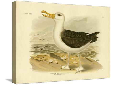 Black-Browed Albatross, 1891-Gracius Broinowski-Stretched Canvas Print