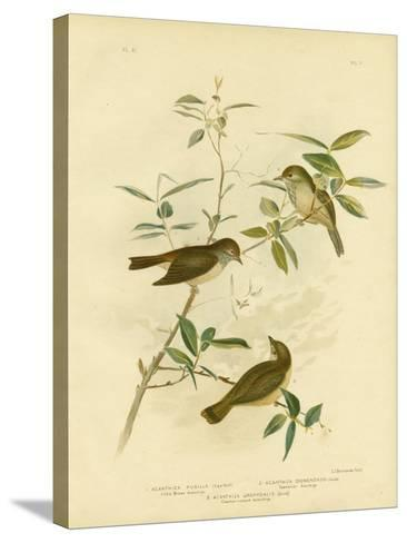 Little Brown Thornbill, 1891-Gracius Broinowski-Stretched Canvas Print