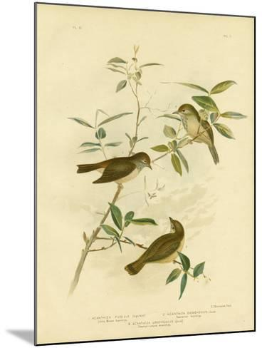 Little Brown Thornbill, 1891-Gracius Broinowski-Mounted Giclee Print
