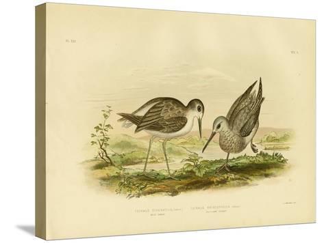 Marsh Sandpiper, 1891-Gracius Broinowski-Stretched Canvas Print