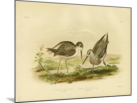 Marsh Sandpiper, 1891-Gracius Broinowski-Mounted Giclee Print