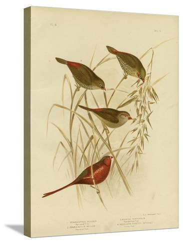 Red-Eared Finch, 1891-Gracius Broinowski-Stretched Canvas Print