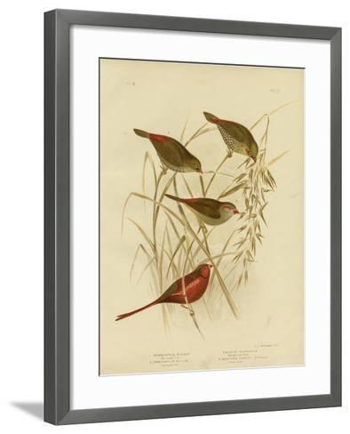 Red-Eared Finch, 1891-Gracius Broinowski-Framed Art Print