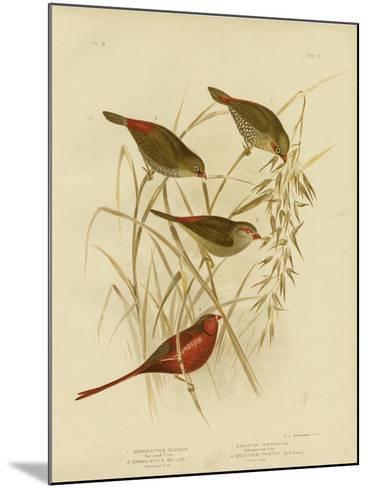 Red-Eared Finch, 1891-Gracius Broinowski-Mounted Giclee Print