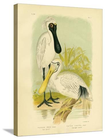 Royal Spoonbill, 1891-Gracius Broinowski-Stretched Canvas Print