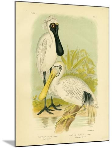 Royal Spoonbill, 1891-Gracius Broinowski-Mounted Giclee Print