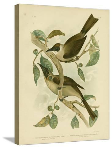 Yellow-Throated Friarbird or Little Friarbird, 1891-Gracius Broinowski-Stretched Canvas Print