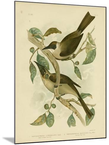 Yellow-Throated Friarbird or Little Friarbird, 1891-Gracius Broinowski-Mounted Giclee Print