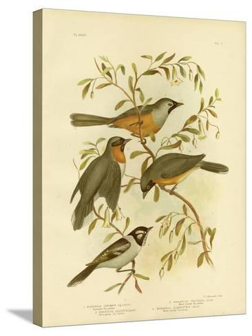 Carinated Flycatcher or Black-Faced Monarch, 1891-Gracius Broinowski-Stretched Canvas Print