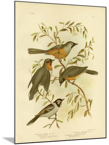 Carinated Flycatcher or Black-Faced Monarch, 1891-Gracius Broinowski-Mounted Giclee Print