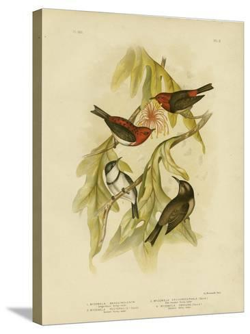 Sanguineous Honeyeater, 1891-Gracius Broinowski-Stretched Canvas Print