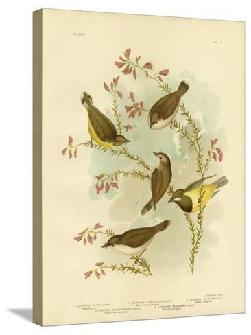 Brown Gerygone, 1891-Gracius Broinowski-Stretched Canvas Print