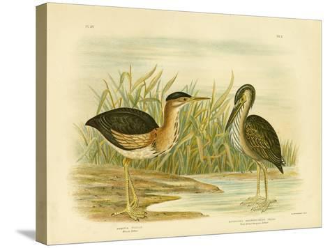 Minute Bittern, 1891-Gracius Broinowski-Stretched Canvas Print