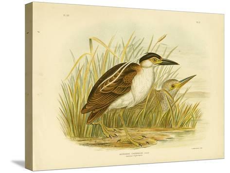 Nankean Night Heron or Nankeen Night Heron, 1891-Gracius Broinowski-Stretched Canvas Print