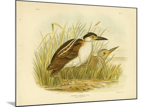 Nankean Night Heron or Nankeen Night Heron, 1891-Gracius Broinowski-Mounted Giclee Print