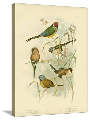 Beautiful Grass-Finch, 1891-Gracius Broinowski-Stretched Canvas Print