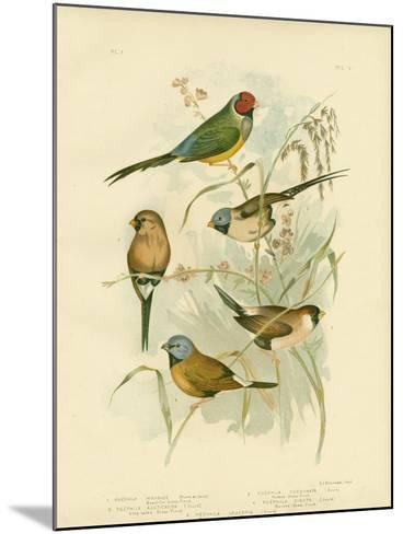 Beautiful Grass-Finch, 1891-Gracius Broinowski-Mounted Giclee Print