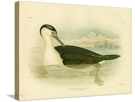 Pied Cormorant, 1891-Gracius Broinowski-Stretched Canvas Print