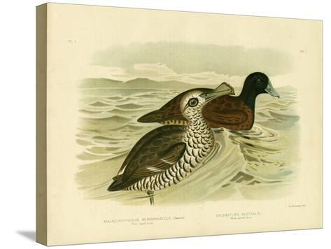 Pink-Eyed Duck, 1891-Gracius Broinowski-Stretched Canvas Print