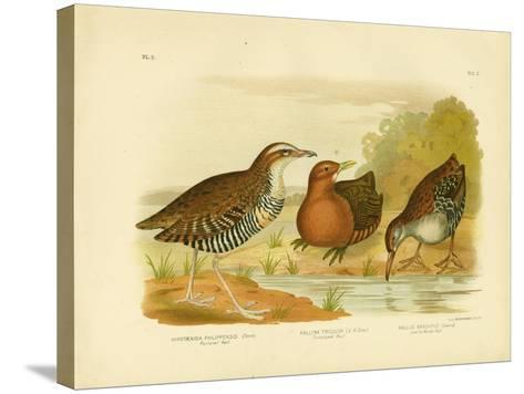 Pectoral Rail, 1891-Gracius Broinowski-Stretched Canvas Print