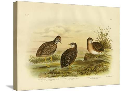 Collared Plainwanderer or Plains Wanderer, 1891-Gracius Broinowski-Stretched Canvas Print