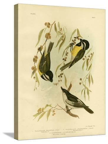 Frontal Shrike-Tit or Crested Shrike-Tit, 1891-Gracius Broinowski-Stretched Canvas Print
