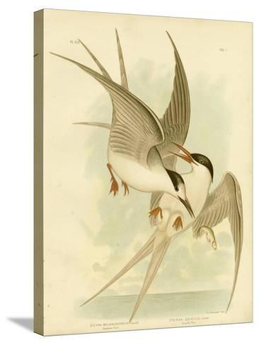 Southern Tern, 1891-Gracius Broinowski-Stretched Canvas Print