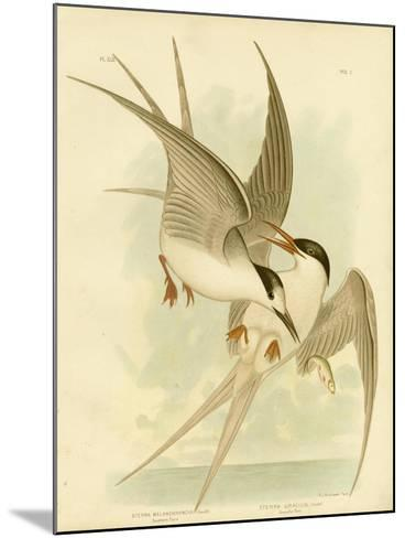 Southern Tern, 1891-Gracius Broinowski-Mounted Giclee Print