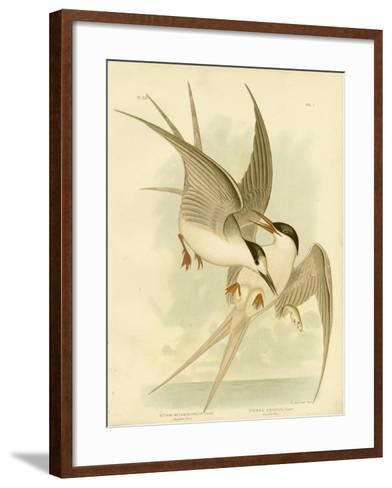 Southern Tern, 1891-Gracius Broinowski-Framed Art Print