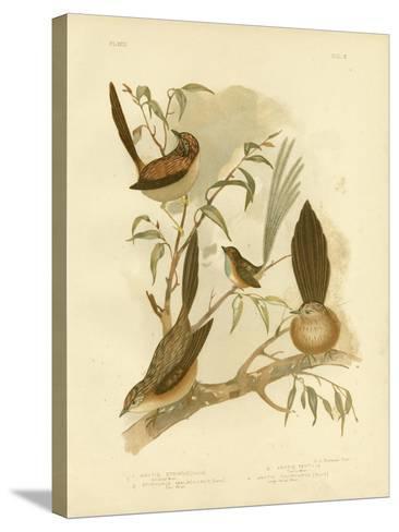 Striated Wren, 1891-Gracius Broinowski-Stretched Canvas Print