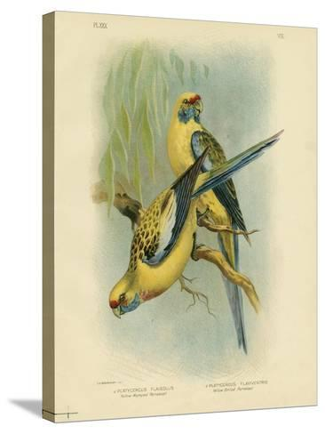 Yellow-Rumped Parakeet or Yellow Rosella, 1891-Gracius Broinowski-Stretched Canvas Print