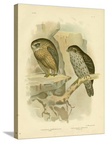 Wekau or Laughing Owl, 1891-Gracius Broinowski-Stretched Canvas Print