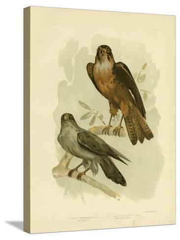 Grey Falcon, 1891-Gracius Broinowski-Stretched Canvas Print