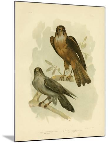 Grey Falcon, 1891-Gracius Broinowski-Mounted Giclee Print