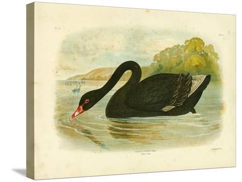 Black Swan, 1891-Gracius Broinowski-Stretched Canvas Print