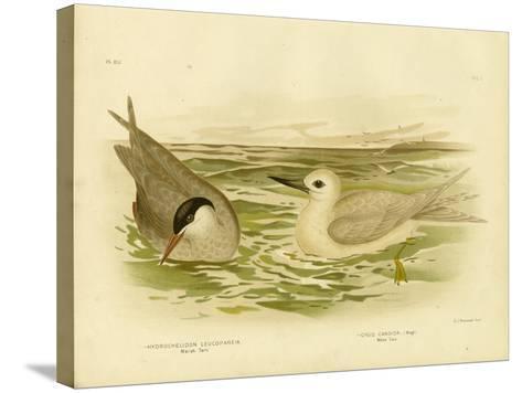 Marsh Tern, 1891-Gracius Broinowski-Stretched Canvas Print