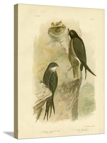 Australian Swift or Fork-Tailed Swift, 1891-Gracius Broinowski-Stretched Canvas Print
