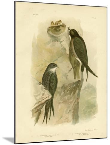 Australian Swift or Fork-Tailed Swift, 1891-Gracius Broinowski-Mounted Giclee Print