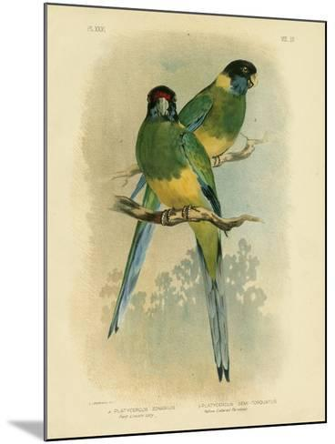 Bauer's Parakeet or Port Lincoln Lory, 1891-Gracius Broinowski-Mounted Giclee Print