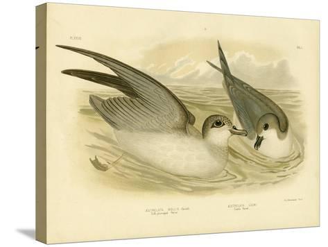 Soft-Plumaged Petrel, 1891-Gracius Broinowski-Stretched Canvas Print