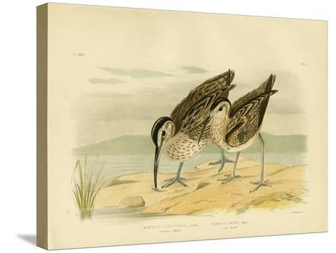 Australian Whimbrel, 1891-Gracius Broinowski-Stretched Canvas Print