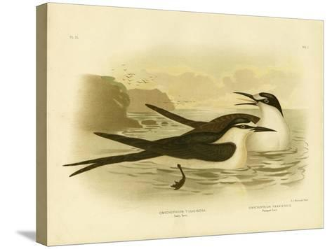 Sooty Tern, 1891-Gracius Broinowski-Stretched Canvas Print