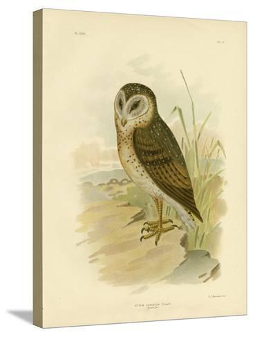 Grass Owl, 1891-Gracius Broinowski-Stretched Canvas Print
