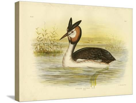 Great Crested Grebe, 1891-Gracius Broinowski-Stretched Canvas Print
